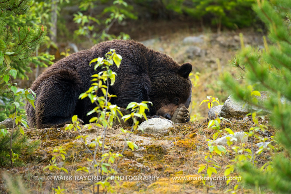 GB3846_Grizzly_Bear_Mark_Raycroft.JPG
