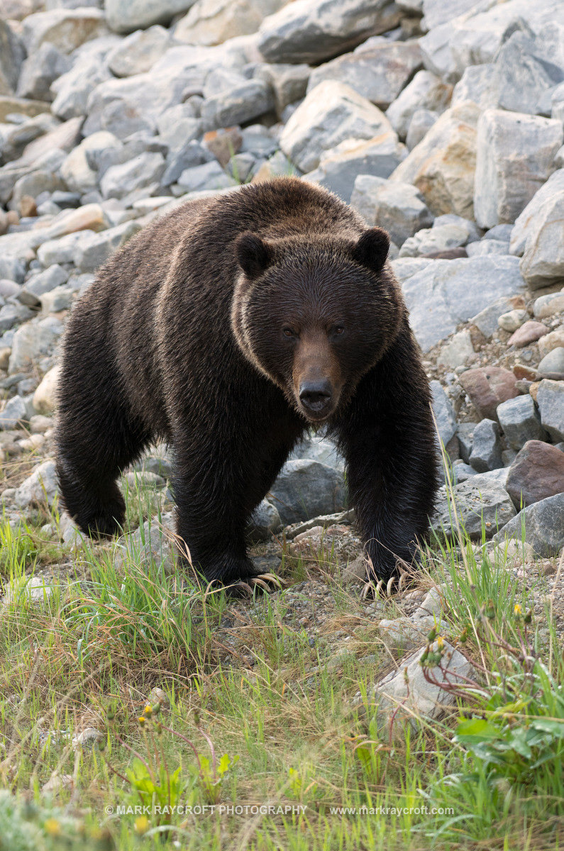 GB3844_Grizzly_Bear_Mark_Raycroft.JPG