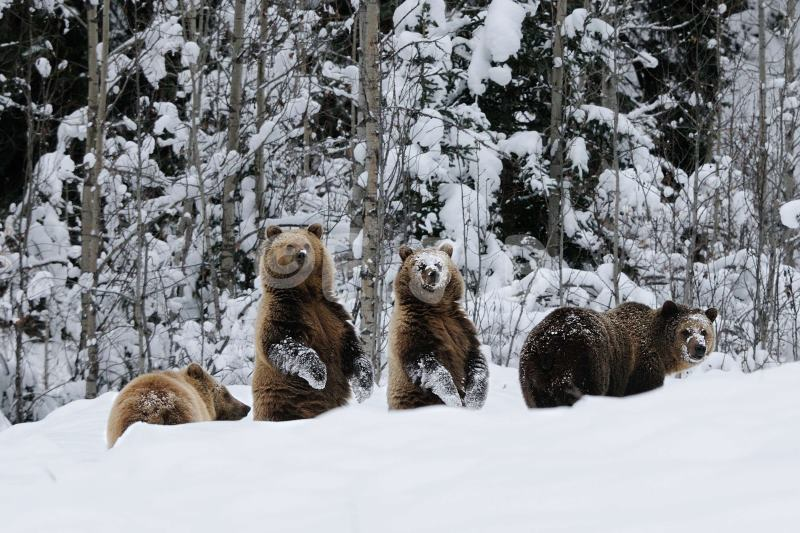 Four Grizzly In Snow 2012_01.JPG