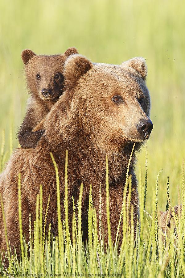 brown-bear-cub-back-v.jpg