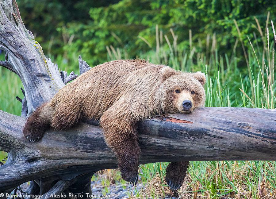 brown-bear-log.jpg