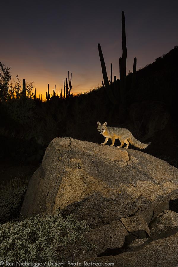 Gray-Fox-night-2.jpg