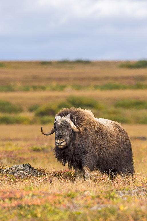 Muskox - Alaska