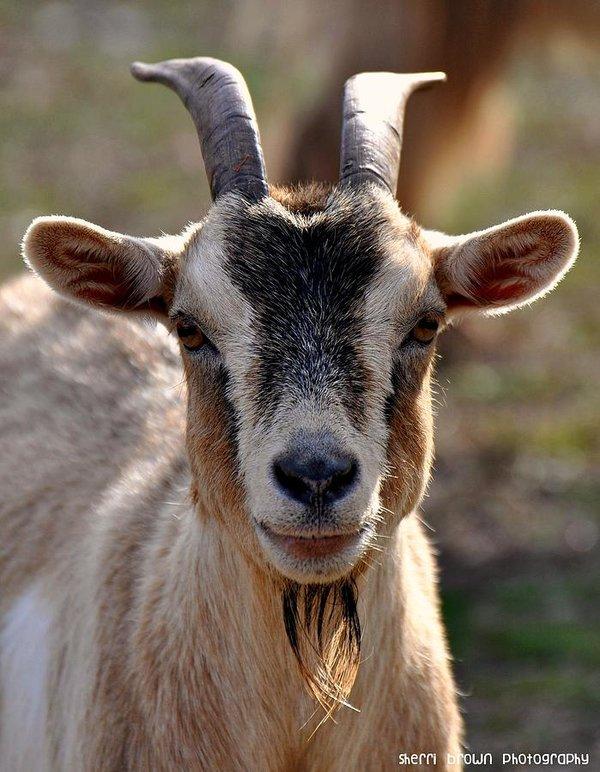 goat-headshot-sherri-brown.jpg