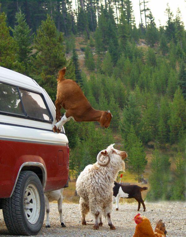 goat-on-a-truck-soledad.jpg