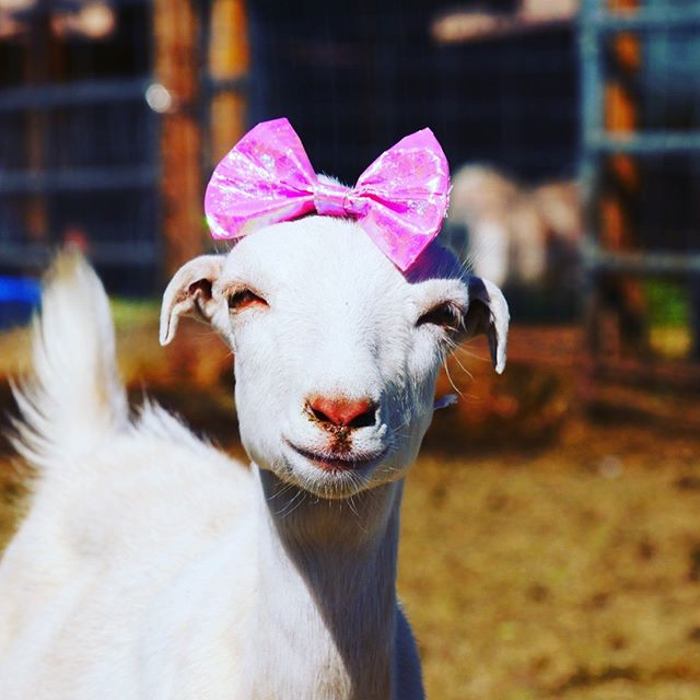Rosie just watched the movie 'Pretty in Pink' last night and here are the results.  She's just one of the many fabulous goats that are now spending their retirement at the Sanctuary at Soledad. . We need your support to keep feeding these hungry little babies.  If you feel so inclined to contribute to our Patreon, you will not be disappointed with super rare photos of our sanctuary not found anywhere else! . patreon.com/sanctuaryatsoledad .