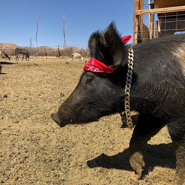 Having some fun with Tupig Shakur. Found on the streets of Compton. He certainly struts his stuff like a boy from the hood. Have a great weekend. Please visit our website www.thesanctuaryatsoledad.org  Love ya speak soon. # rescuedpig #piggies #piggiesofinstagram #farmanimalrescue #farmanimalsanctuary #rescue #sanctuary #farmsanctuary #bekind #sanctuaryatsoledad #vegan #veganlifestyle #veganlife #veganlove
