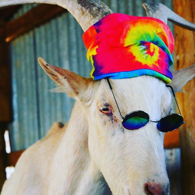 Mr. Funkadelic! Modesto feels his soul is from the 60's. It certainly is a great look isn't it. All of our babies are such characters, they love having fun. Please check out our website and donate on our patreon to help goats like Modesto!  Love ya speak soon. . . www.sanctuaryatsoledad.org . Patreon.com/sanctuaryatsoledad . .#animalsanctuary #animalrescue #sanctuary #vegan #goat #goatsofinstagram #sanctuarylife #80sfashion #adorable #cute #colorful #cool #sunday #donate #sponsorme #glasses #vegansofinstagram #vegansanctuary #goats #goatlife #cuteboys #rescue #rescueanimals #rescuegoat #fashion #plantbased #losangeles #california #pet #weekend .