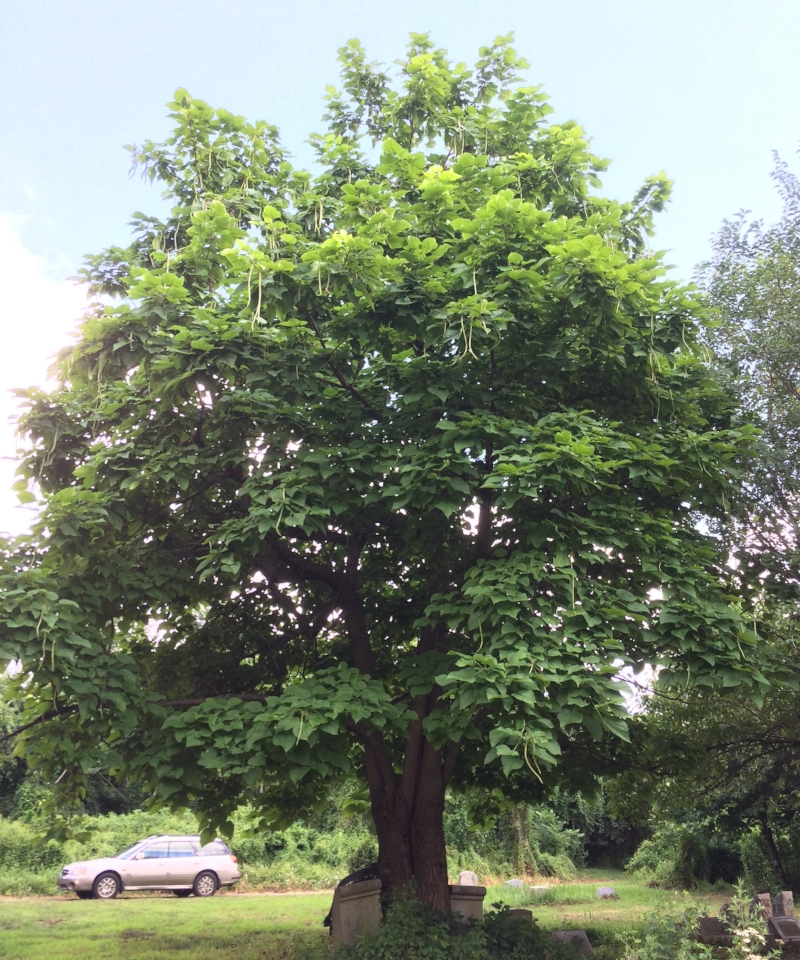 Native to the Deep South,  Catalpa bignonioides also grows well in the Northeast