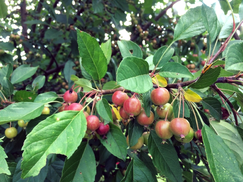 Crabapples ( Malus  spp.) support 311 species of moths and butterflies in the Northeast, in addition to providing fruit to a wide range of wildlife