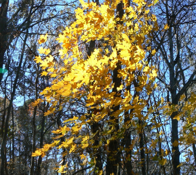 Able to withstand high heat and urban conditions , Southern sugar maple ( Acer barbatum ) can be planted in the Northeast now to offset the increasing loss of northern sugar maple ( Acer saccharum ).