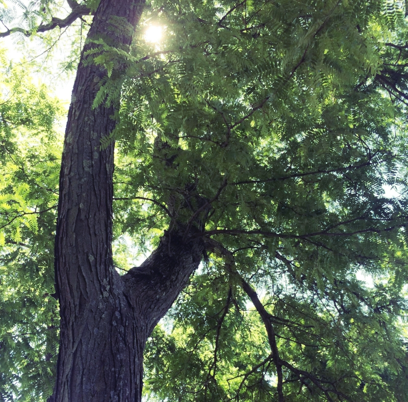 Growing well in cities as far south as Louisiana and Texas, thornless honeylocust ( Gleditsia triacanthos  var.  inermis ) is an excellent choice for challenging sites