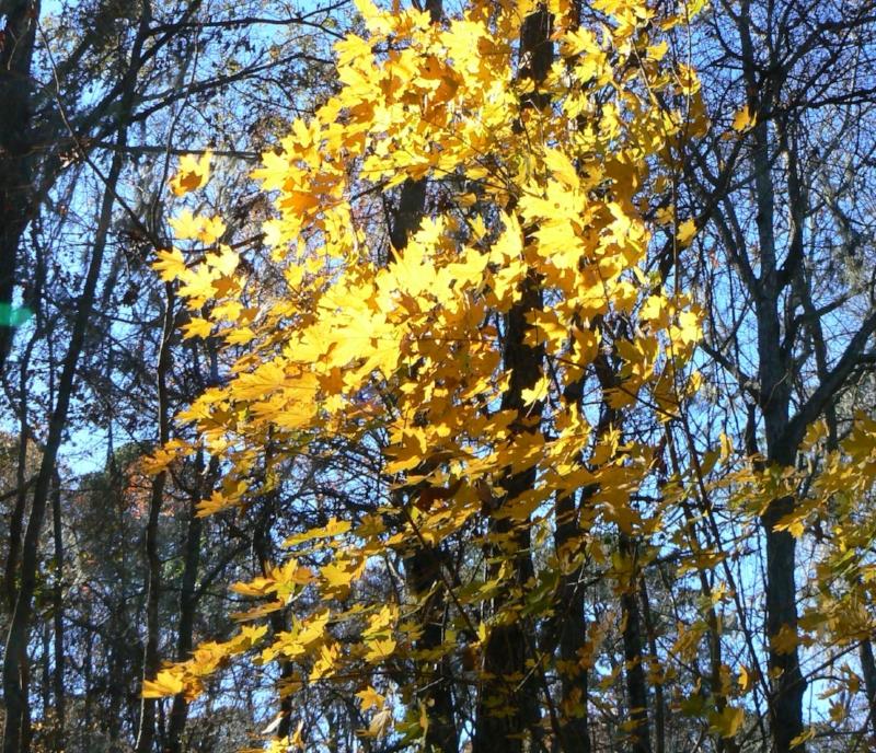 Southern sugar maple ( Acer barbatum ) displaying stunning Fall foliage in a native Florida woodland
