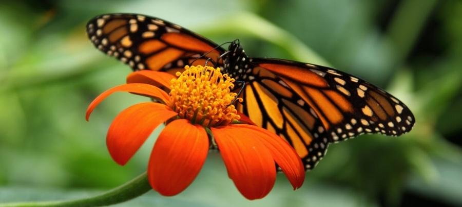 monarch_butterfly.jpg