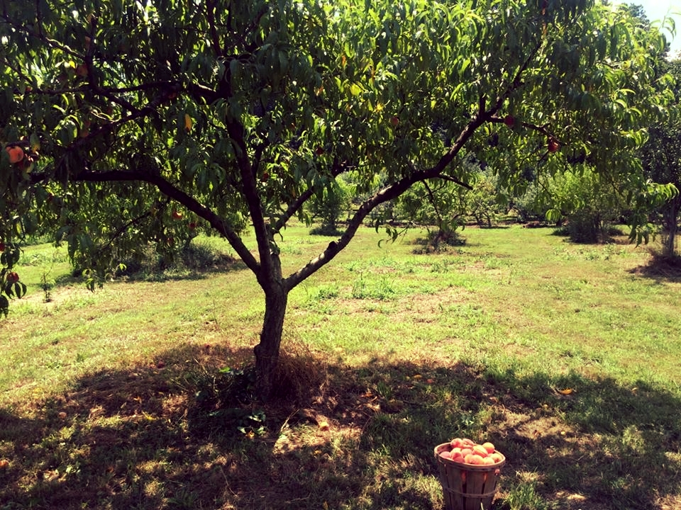 peach-orchard