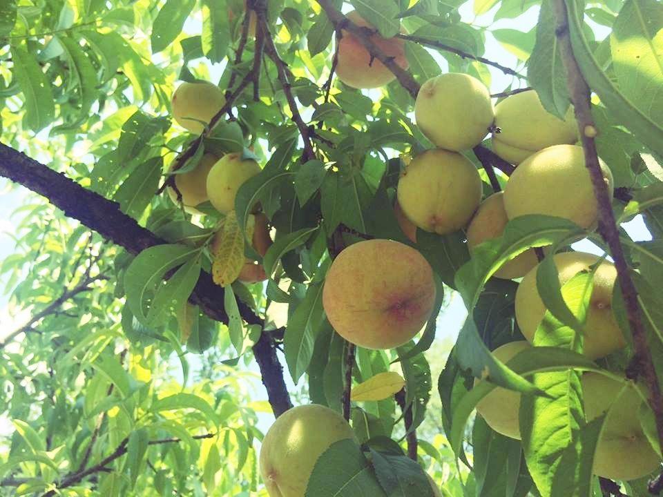 ripe-peaches