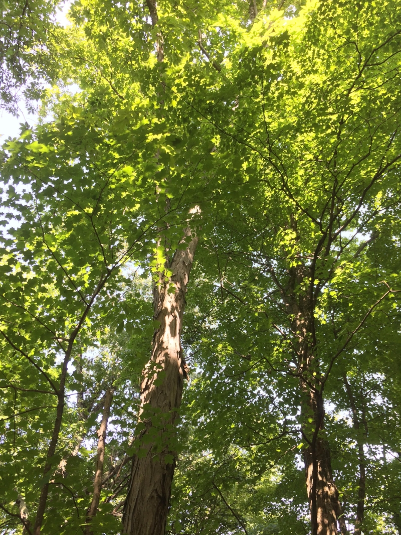 Hickories and birches frequently grow in the same places as sugar maples, making them a good addition to any sugar bush.
