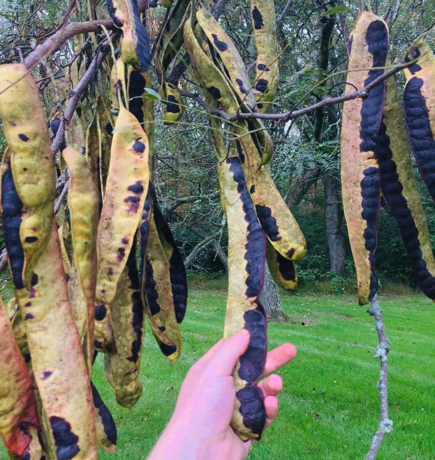 Plump, sugary pods on grafted varieties can grow over 18 inches long.