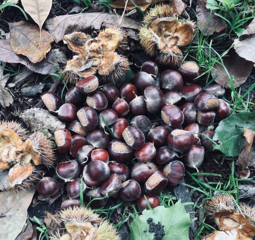hybrid chestnuts