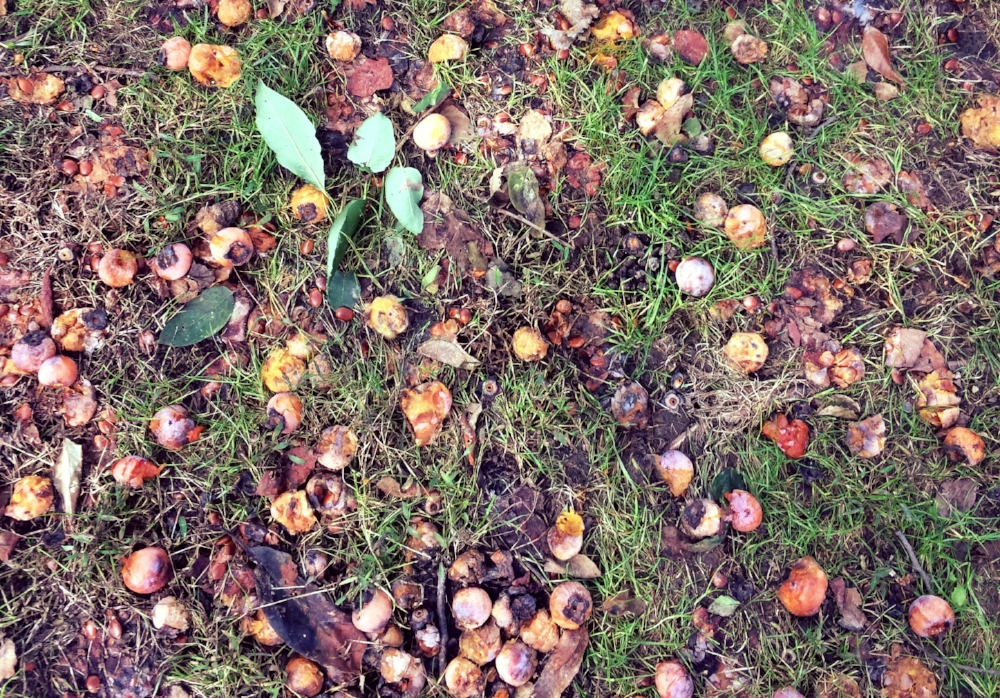 Thousands of ripe persimmons litter the ground in early Fall