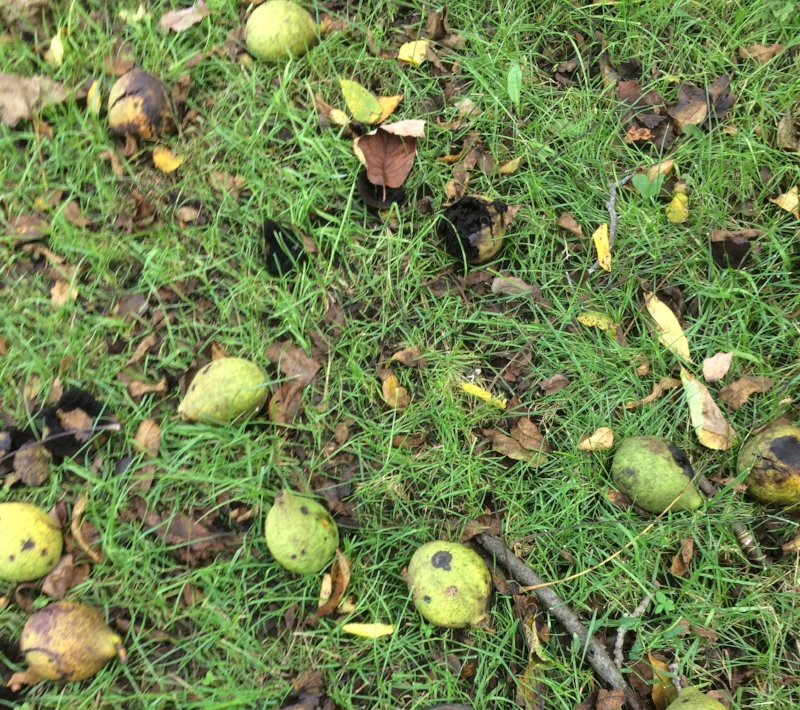 Black walnuts bear abundantly every year