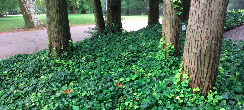 Unchecked, English ivy can dominate the groundcover layer. Invasive populations like these should be harvested first.