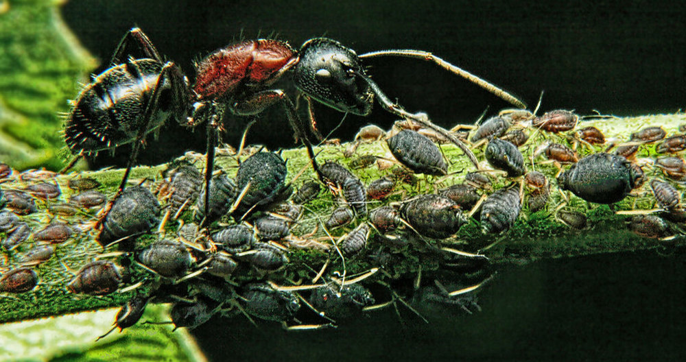 Many ant species will herd and milk aphids like livestock. Here an ant is guarding a collection of aphids in Virginia. ( Source )