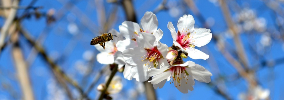 Honeybee hives are trucked in to California vast almond monocultures from every state in the continental U.S. They spend a few weeks pollinating blossoms that have been sprayed with harsh fungicides, weakening their immune systems and opening up their hives to parasites and diseases which contribute to Colony Collapse Disorder.