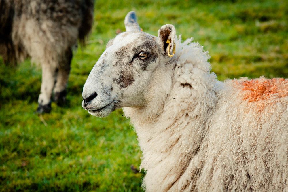 Lambing, Loch Lomond