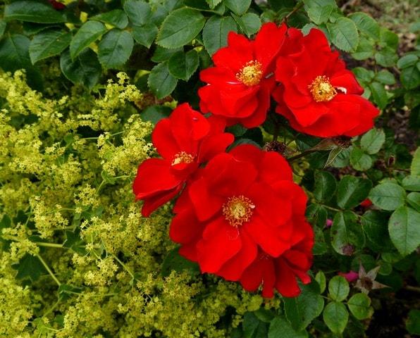 Woodville WB Yeats Rose  c r-min.jpg