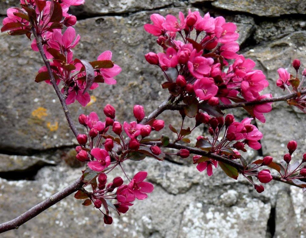 blossom against wall for 2017-min.jpg