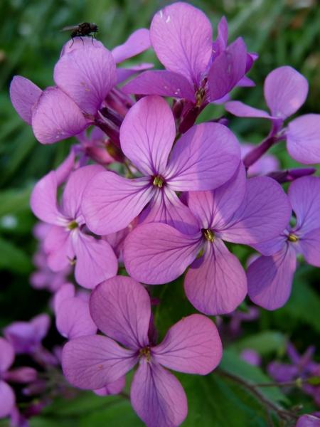 Dames Violet for webs.jpg
