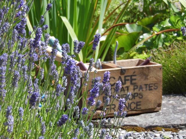 Lavender 3 c r.jpg