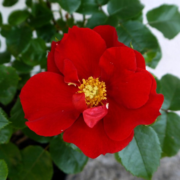 Order your WB Yeats rose from your local garden centre -