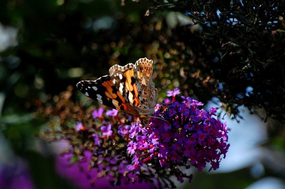 butterfly-3402752_1280.jpg