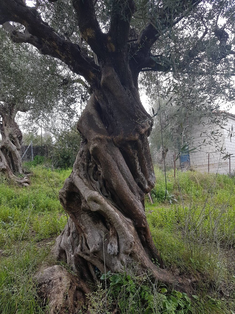 ancient greek olive trees.jpg