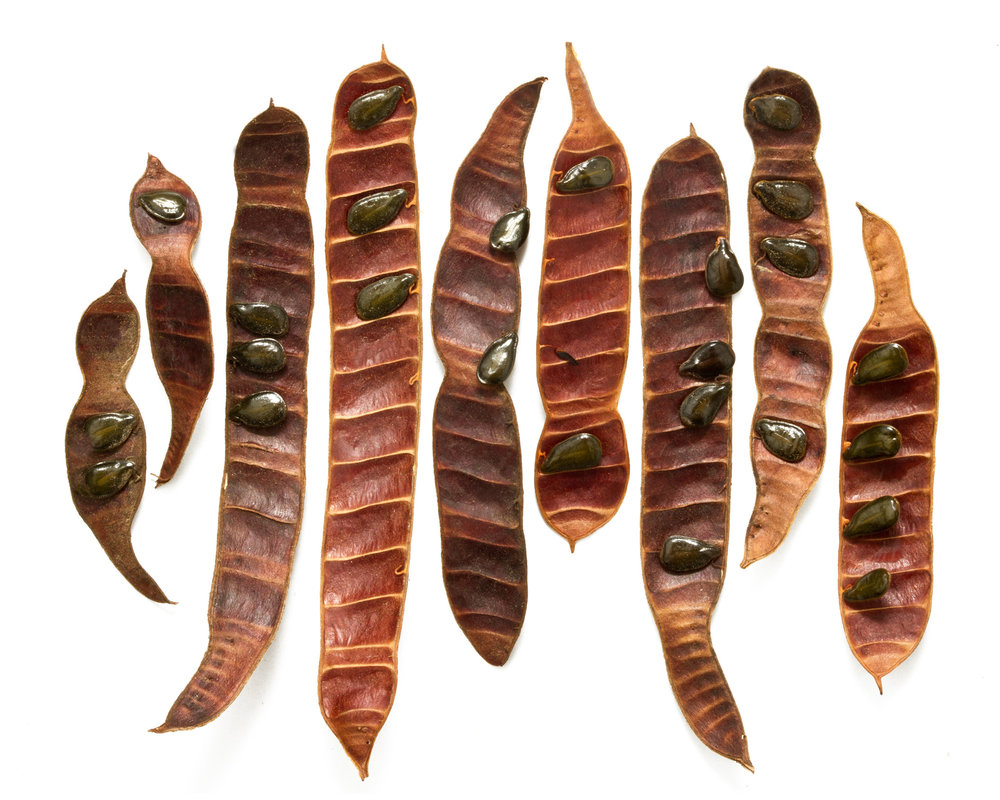 Feathery cassia ( Cassia artemisioides )  Collected in Highland Park, California, 2016.