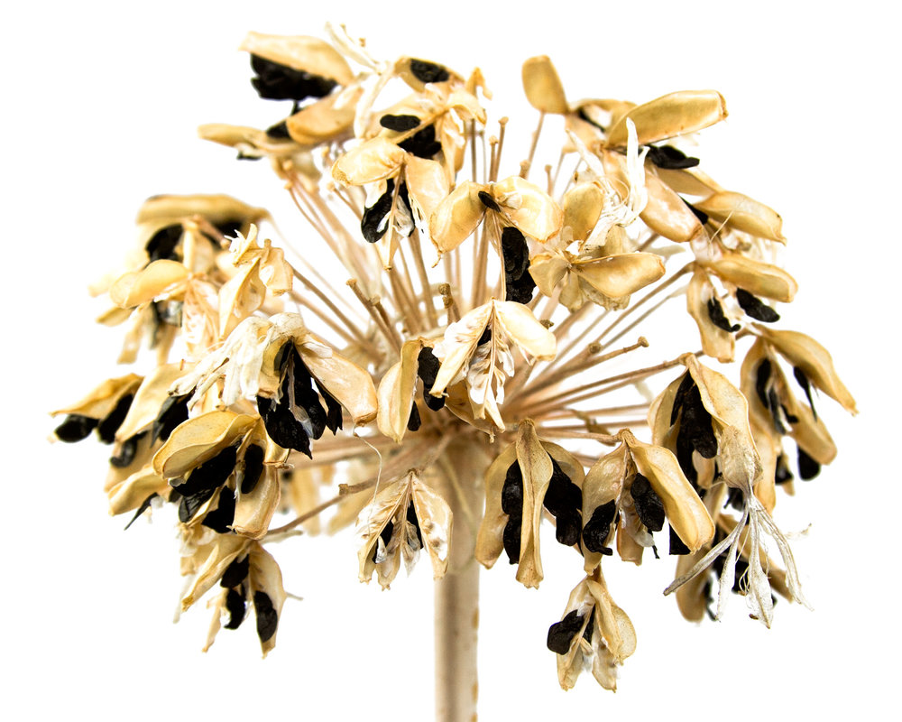 Lily of the Nile ( Agapanthus praecox )  Collected in West Hollywood, California, 2010.