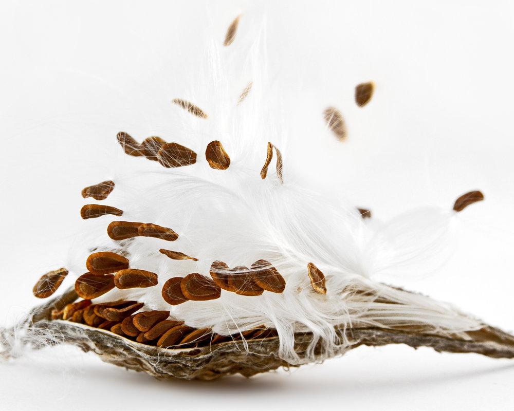 Common milkweed ( Asclepias syriaca )  Collected at Arnold Arboretum of Harvard University, Boston, Massachusetts, 2011.