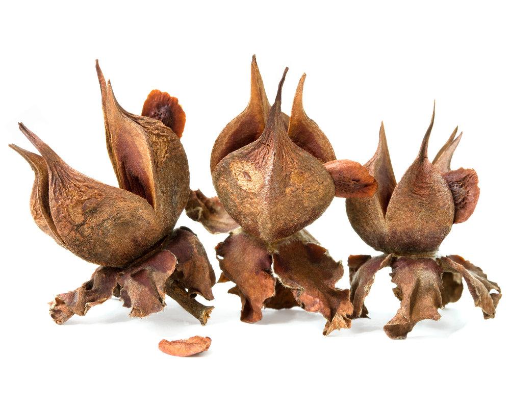 Beaked stewartia ( Stewartia rostrata )  Collected at Arnold Arboretum of Harvard University, Boston, Massachusetts, 2011.