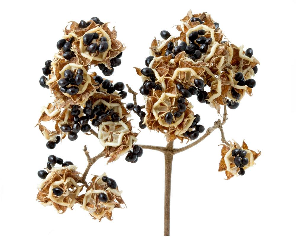 Bee-bee tree ( Tetradium daniellii )  Collected at Arnold Arboretum of Harvard University, Boston, Massachusetts, 2010.