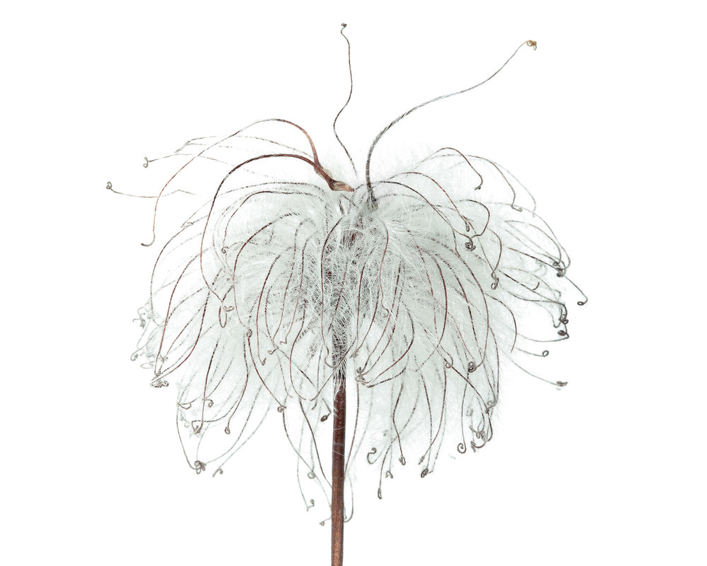 Clematis sp.   Collected in Hampstead, London, 2017.
