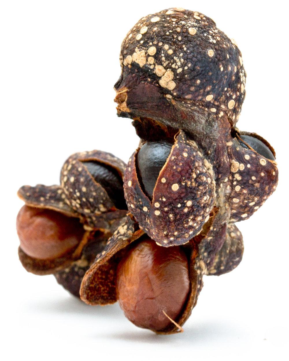 Lily magnolia ( Magnolia liliiflora )  Collected at Arnold Arboretum of Harvard University, Boston, Massachusetts, 2011.