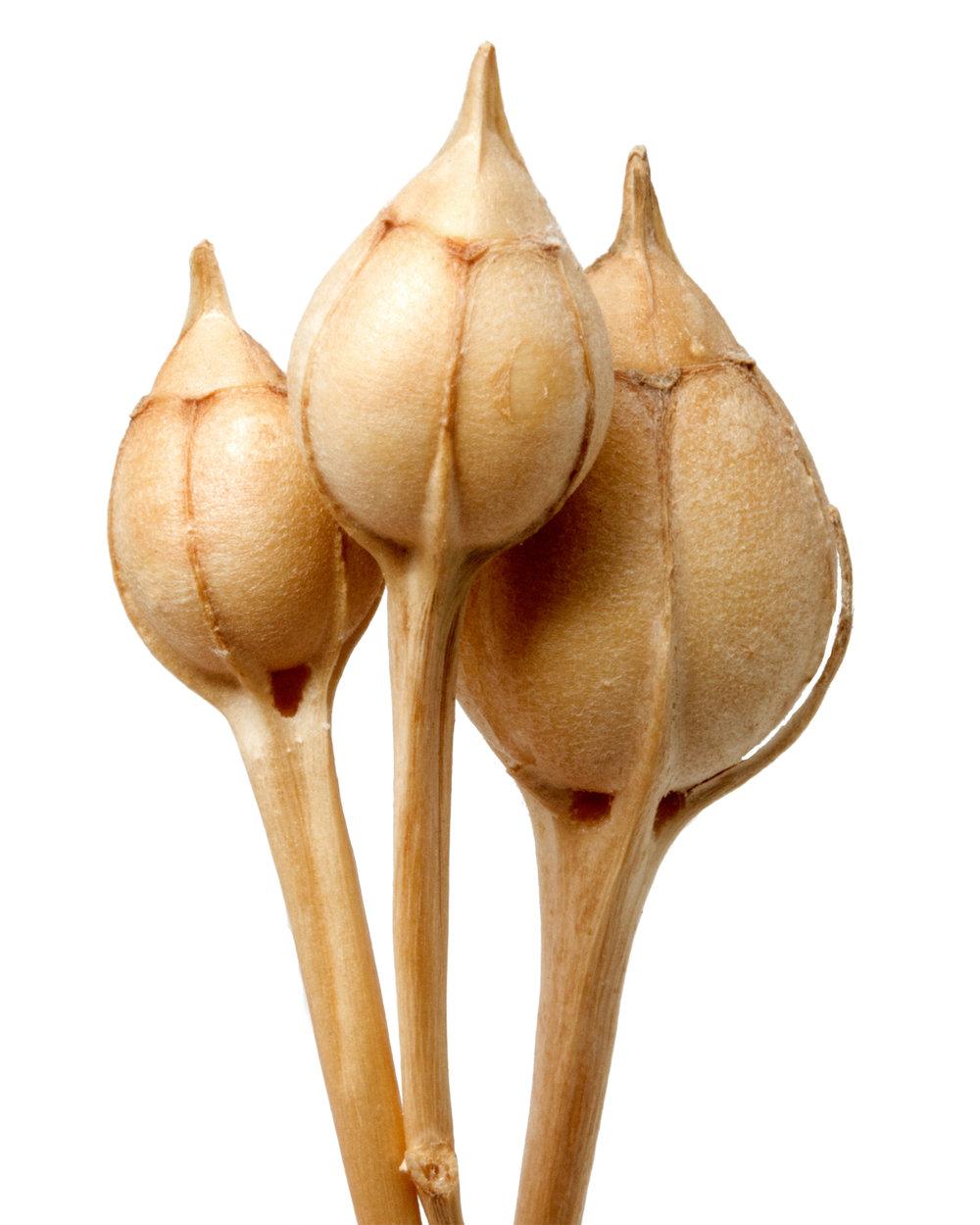 Alstroemeria isabellana.jpg