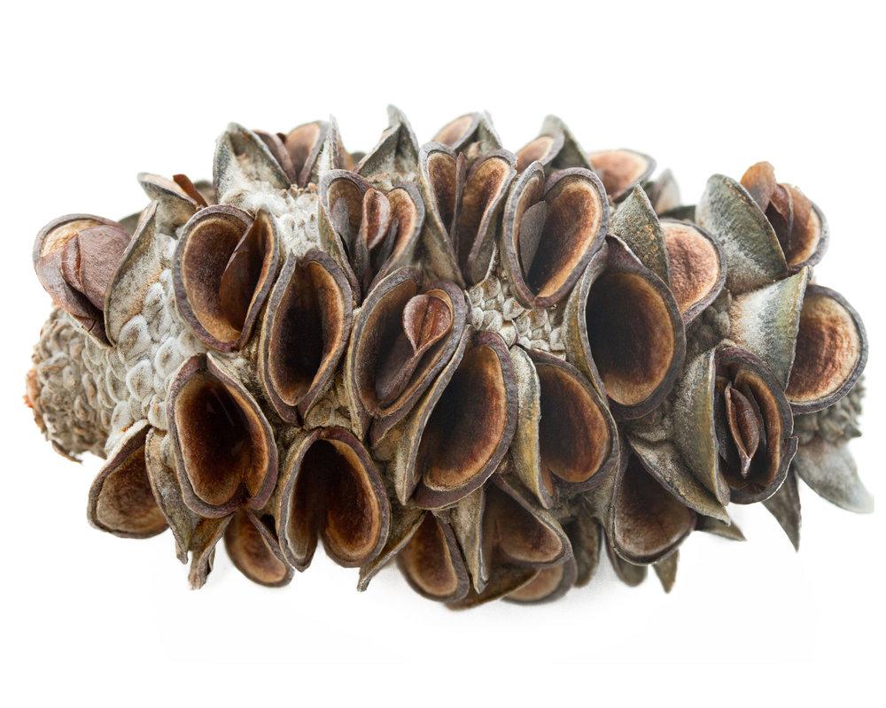 Coastal banksia ( Banksia integrifolia )