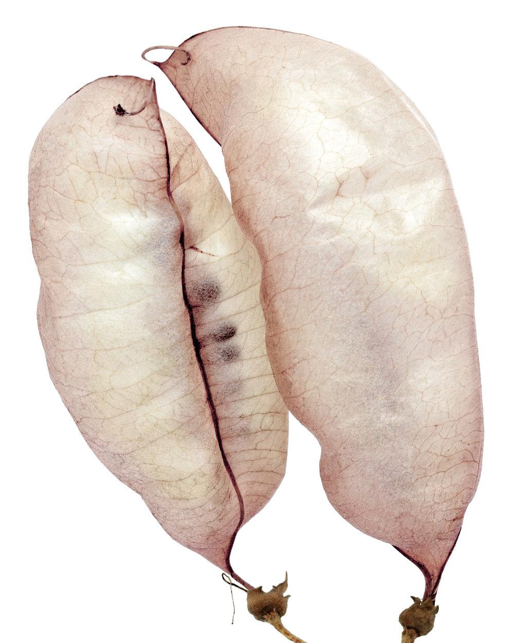 Bladder sienna ( Colutea arborescens)