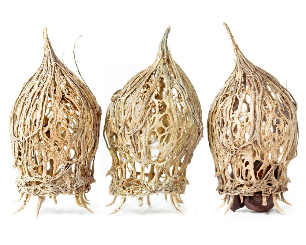 Wintersweet ( Chimonanthus nitens )