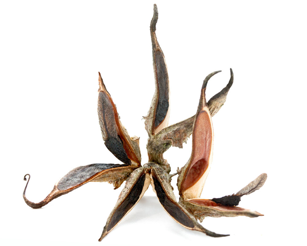 Dagger hakea ( Hakea teretifolia )