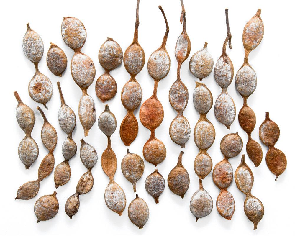 Acacia nilotica.jpg
