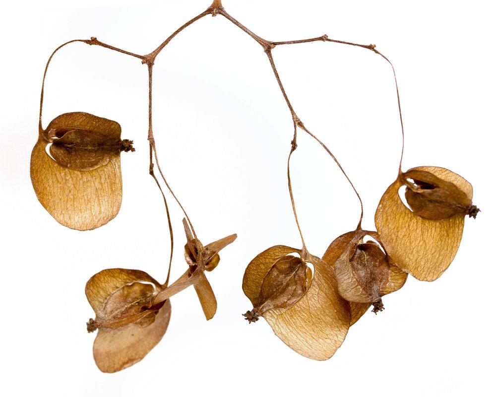 Begonia sp.jpg